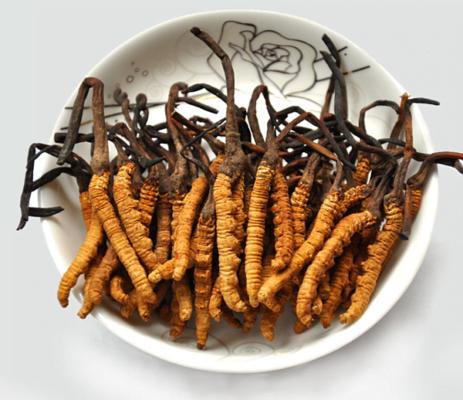 Đông trùng hạ thảo Tây Tạng rất tốt cho sức khỏe